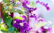 Clematis is the flower list gift idea for the 8th anniversary