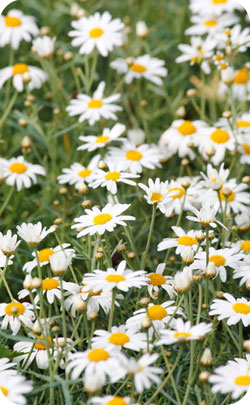 5th year aniversary appropriate flowers - daisies image