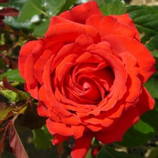 To My Wonderful Husband Rose Bush Gift